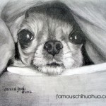 chihuahua snug in blanket