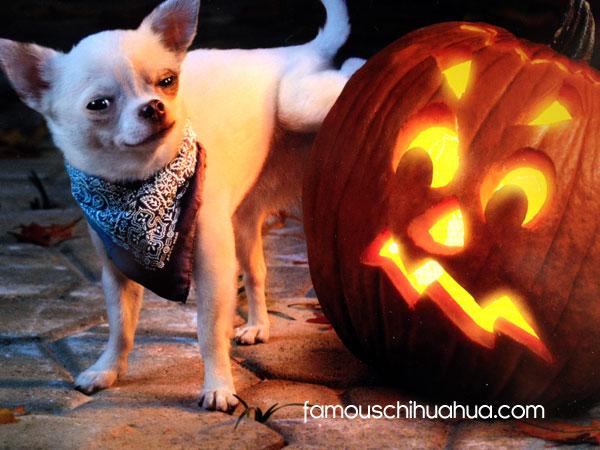 chihuahua peeing on halloween pumpkin