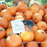 miss molly in a pumpkin patch!