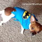 peanut in his batman shirt!
