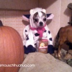 peanut the little cow!