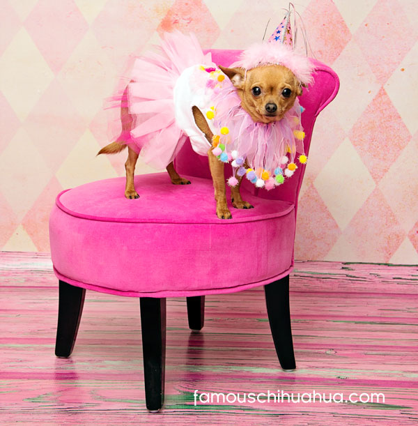 cute chihuahua dressed in birthday outfit
