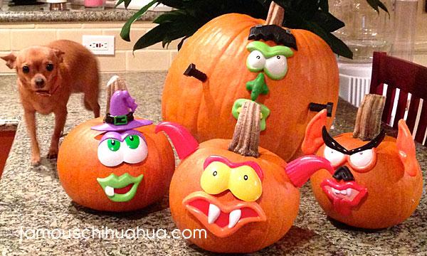 chihuahua decorating pumpkins
