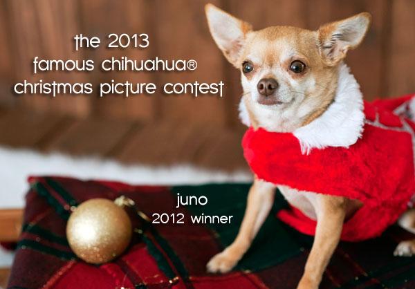 christmas chihuahua contest winner