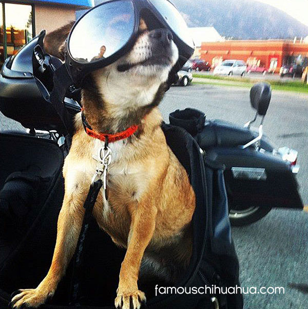 biker chihuahua