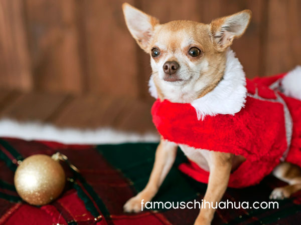 chihuahua wins christmas picture contest