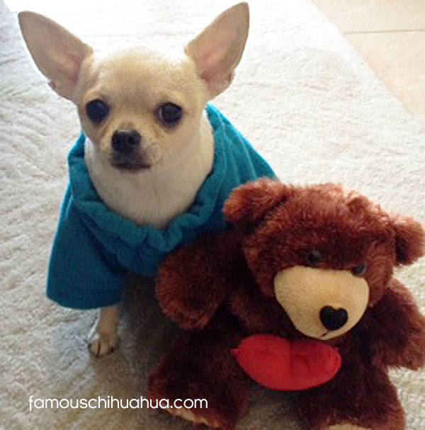 sofia the chihuahua!