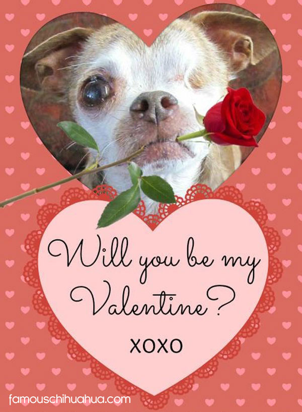 valentines day chihuahua