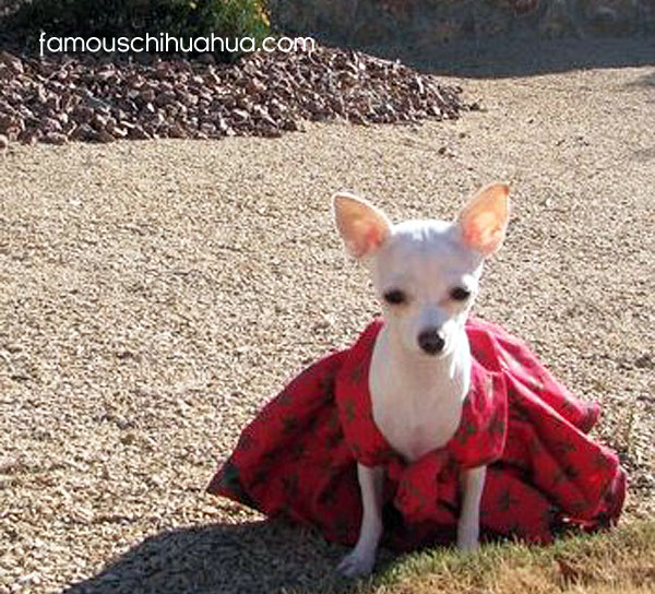 cute teacup chihuahua