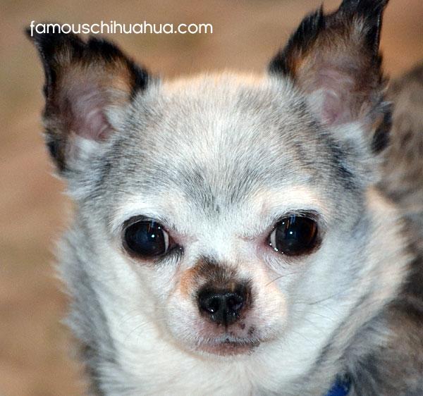 rescue chihuahua