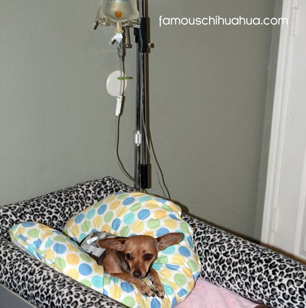 chihuahua hooked up to IV