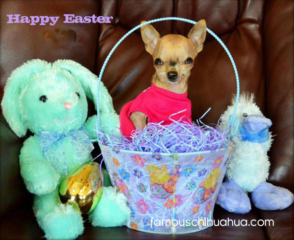 chihuahua in easter basket