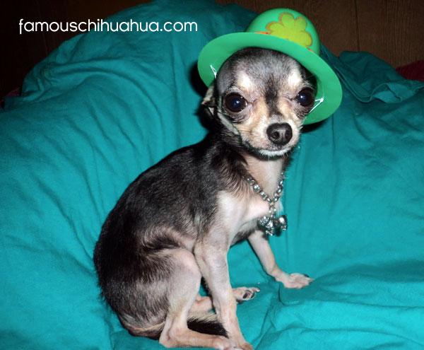 cute saint patrick's day chihuahua