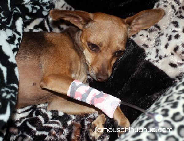 injured chihuahua