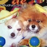 chihuahuas cinco de mayo
