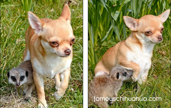 chihuahua being mother to meekrat