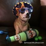 drunk chihuahua