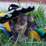 cute chihuahua wearing sombrero