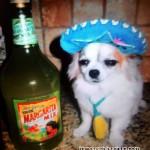 tequila chihuahua