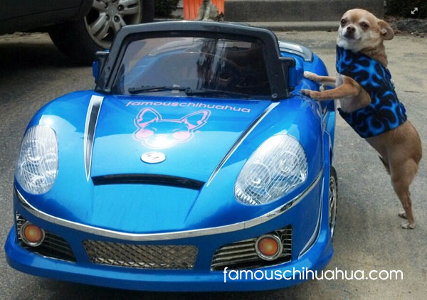 chihuahua in racecar