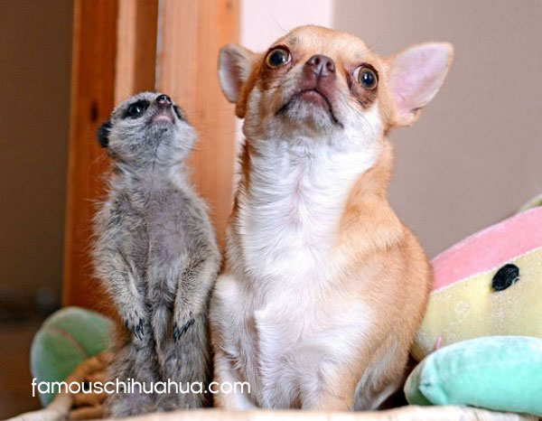meerkat and mother chihuahua