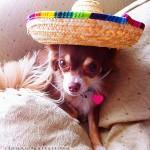 cute mexican chihuahua