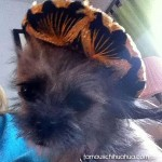 fluffy chihuahua