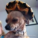 tan chihuahua sombrero
