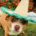 nacho chihuahua sombrero