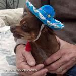 chihuahua sombrero blue