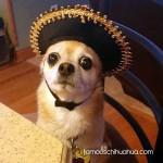 chihuaua sombrero