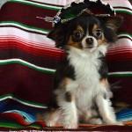 tiny chihuahua sombrero