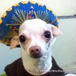 chihuahua blue sombrero