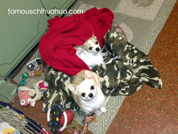 two chihuahuas in a blanket