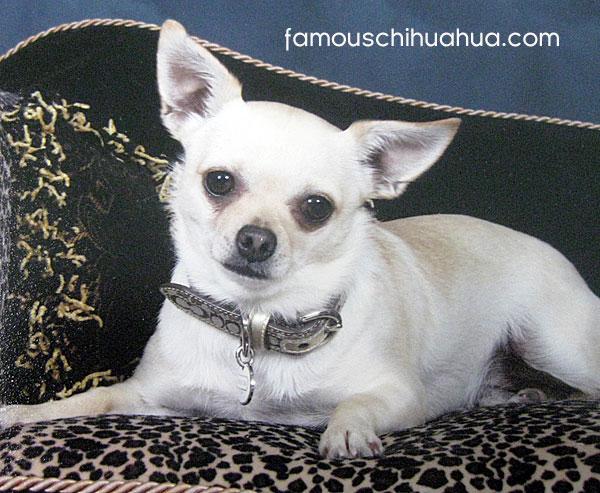 white short haired chihuahua