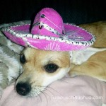 chihuahua in pink sombrero!