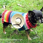 chihuahua in poncho