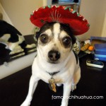 chihuahua in red sombrero