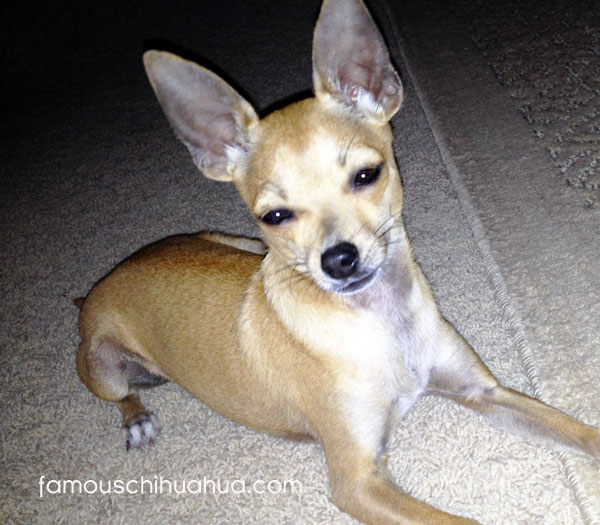 tan short-haired rescue chihuahua