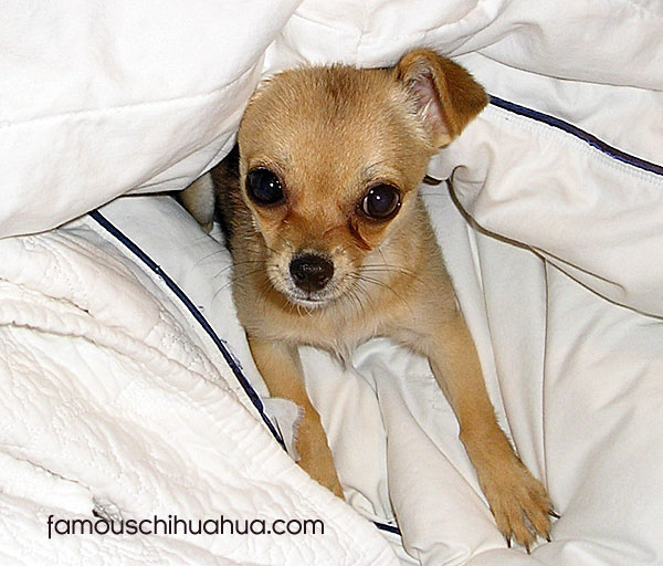 chihuahua puppy under sheets