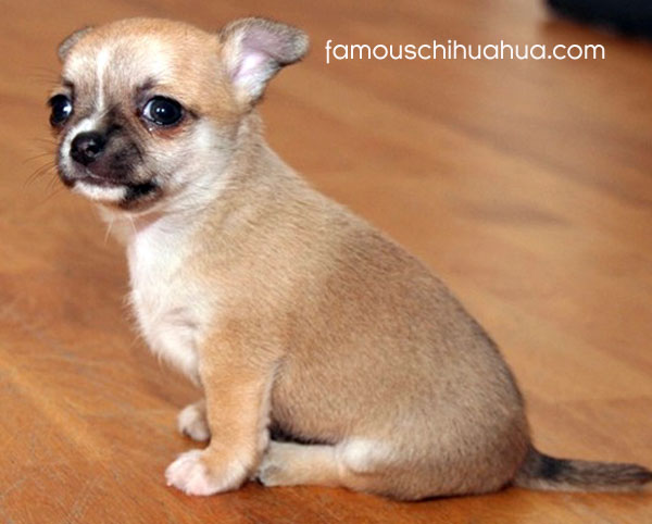 tan short haired chihuahua puppy
