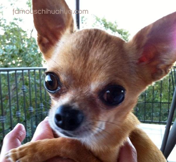 tanned short hair chihuahua puppy