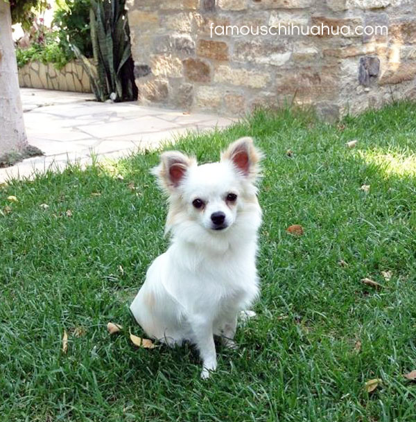 white long haired chihuahua