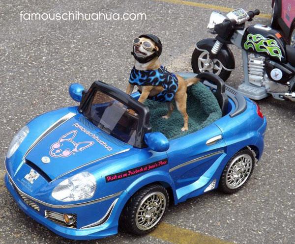 chihuahua driving corvette
