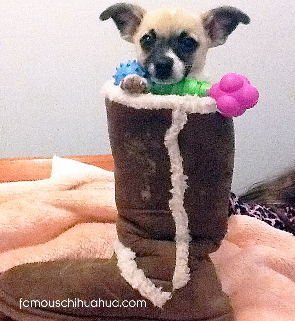 teacup chihuahua in boot