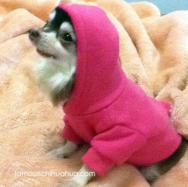 chihuahua wearing dog hoodie