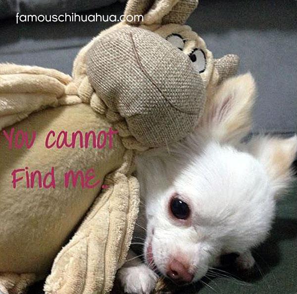 chihuahua dog hiding