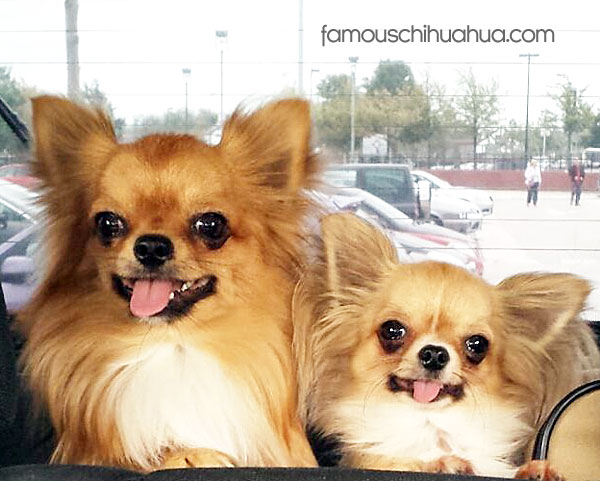 cute long-haired chihuahua puppies