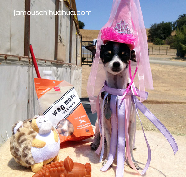 spotted chihuahua in princess costume