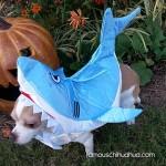 shark chihuahua!